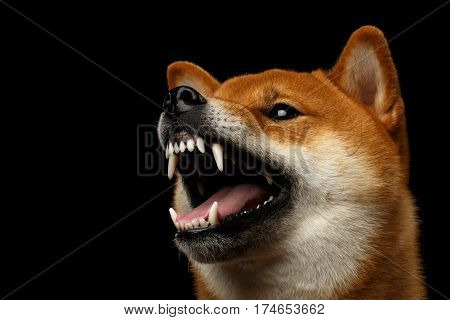 Aggressive Portrait of Growls Shiba inu Dog, Isolated Black Background, Profile view