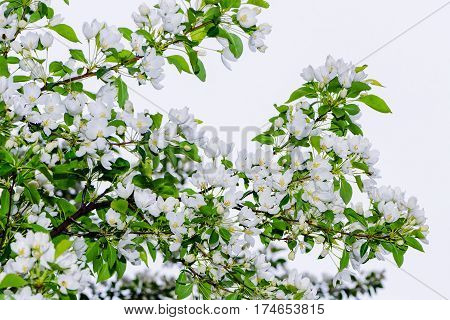 Apple tree flowers. Spring garden - blooming tree. blooming Apple trees. Beautiful blooming Apple trees in spring Park