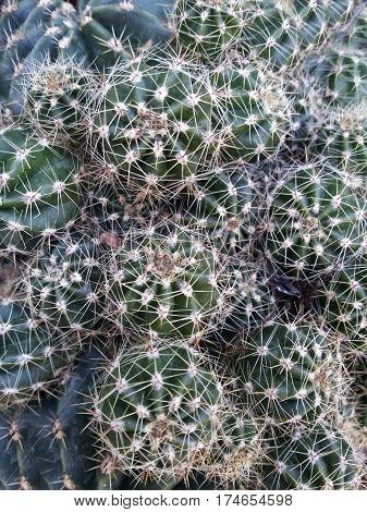 Plant cactus close-up. Passion for floriculture. Background.