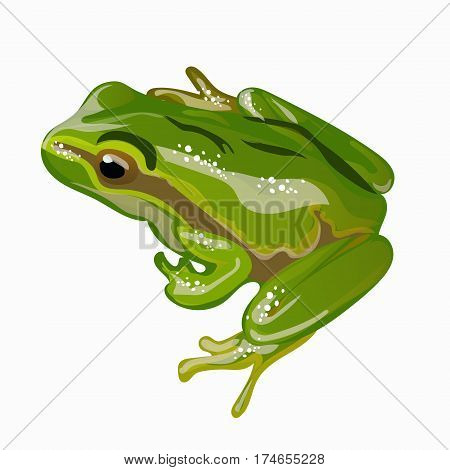 Large green frog vector illustration EPS 10