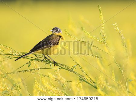 little yellow bird Wagtail flew on the summer meadow clover