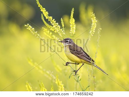 the bird was a Wagtail came for a summer flowering meadow yellow clover and sings