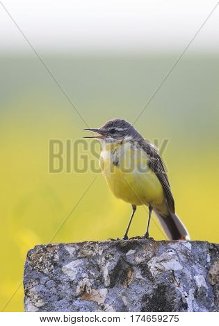 bird yellow Wagtail stands on a rock in a meadow and sings