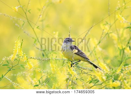 Wagtail sitting on a summer meadow with flowers clover