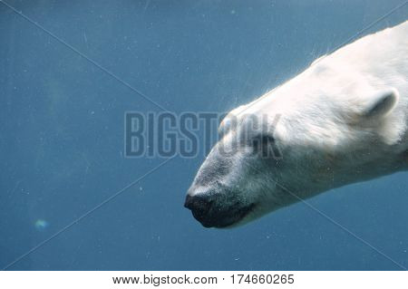 A polar bear swimming in the water