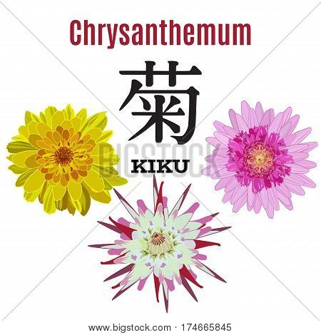 Vector illustration of Chrysanthemum flower symbol of Japan. Kiku or Chrysanthemum meaning japanese hieroglyphics. Flat style design elements.