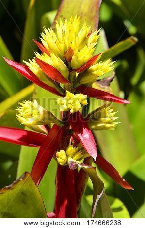 A view of an Aechmea callichroma bromeliad flowers