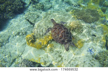 Sea turtle in transparent water. Snorkeling or diving with tortoise. Wild green turtle in tropical lagoon. Sea environment with animals and seaweeds. Oceanic ecosystem. Sea turtle near coral reef