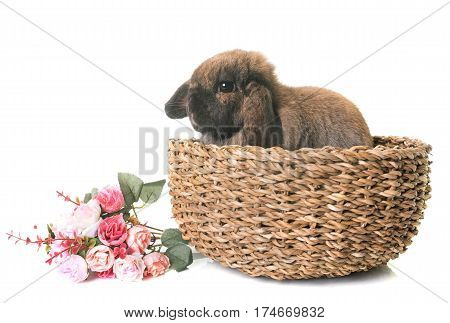 Dwarf lop-eared rabbit in a basket in front of white background