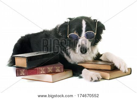 border collie in school in front of white background