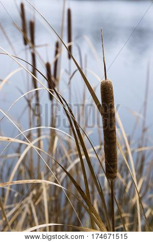 Cattails on the background of the pond