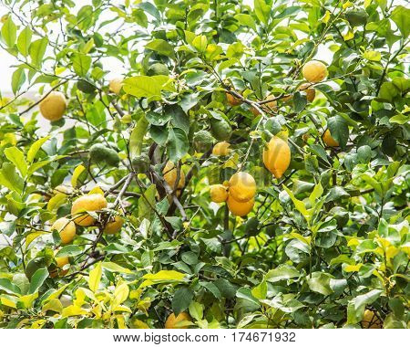Ripe lemon fruit on the tree. Blue sky background.