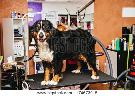 Female groomer does haircut and drying hairdryer dog breed Bernese Mountain