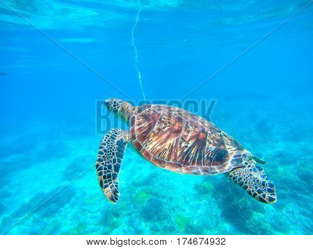 Sea turtle in turquoise blue water. Snorkeling or diving with tortoise. Wild green turtle in tropical lagoon. Sea environment with animals and seaweeds. Oceanic ecosystem. Vibrant turquoise blue water