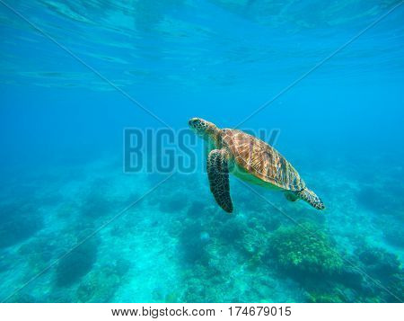 Sea turtle in water. Green turtle underwater photo Tropical lagoon sea animals. Rare species of seashore. Turquoise blue water with tortoise swimming to water surface. Wild nature of exotic island