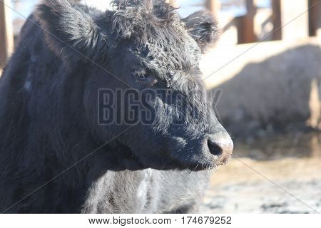 Side view of the head, face, shoulder area of a cow in a holding/transfer pen waiting to be shipped out.