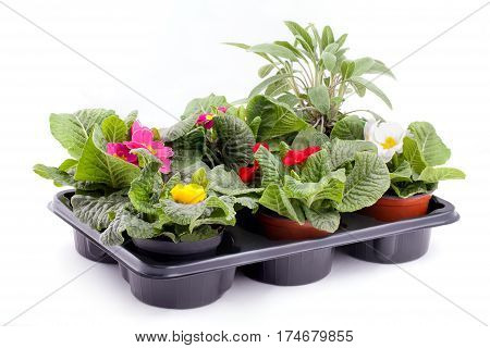 Different colored flowering primroses and sage inside plastic seed tray isolated on white background.