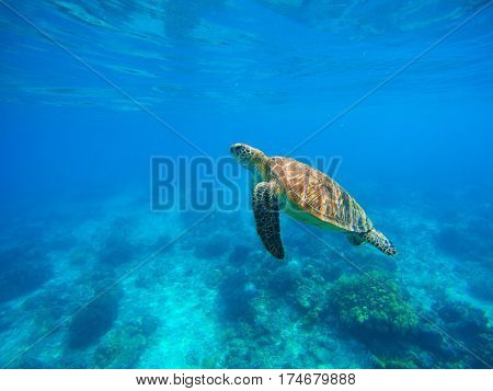 Swimming sea turtle in blue water. Sea tortoise snorkeling photo. Cute green turtle closeup. Oceanic animal in clear sea. Tropical waters life. Beautiful wild nature on tropic seashore. Marine species