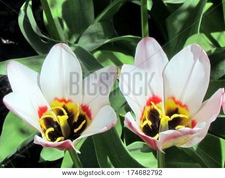 Border Legend tulip flower in garden in Toronto Canada