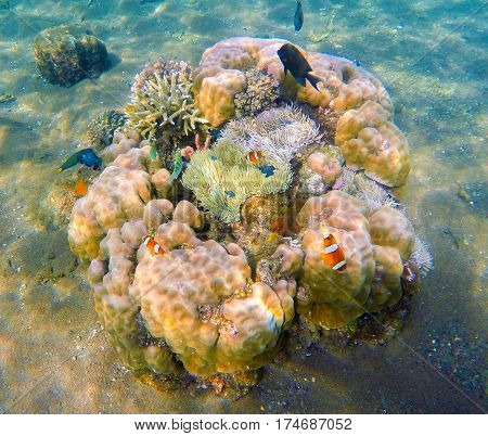 Underwater scene with round corals and tropical fishes. Orange clownfish and black surgeonfish around coral reef with actinia. Oceanic animal species. Exotic island seashore. Bright snorkeling photo
