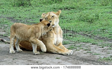 lioness and cub greeting alongside the trail