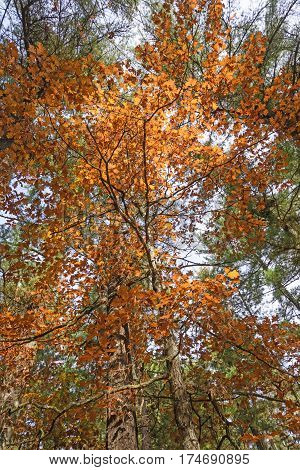 Looking up into a backlit tree in the fall in Black River State Forest in Wisconsin
