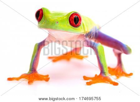 Red eyed tree frog on high feet. A beautiful tropical rainforest animal from Costa Rica isolated on a white background.