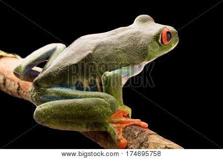 Red eyed monkey tree frog at night in the light of the moon. A tropical animal from the rain forest of Costa Rica