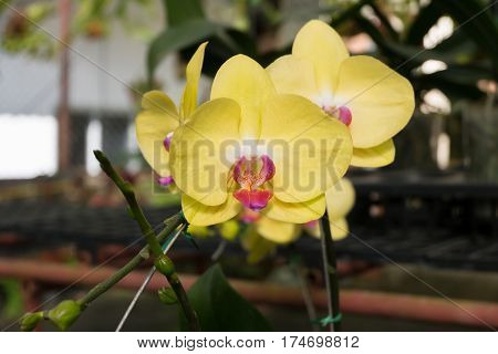 Close up yellow Phalaenopsis orchid flower in greenhouse