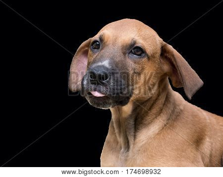 Brown puppy with big floppy ears on black background