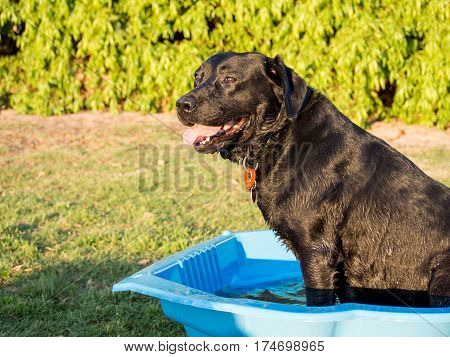Black labrador cooling off in a clam shell pool