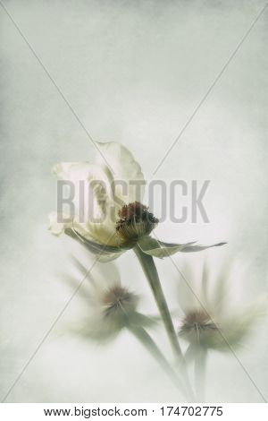 Part of white rose with other rose stems blurred in the background