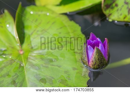 Purple lotus Emerge from the water half head not bloom with green leaf close up