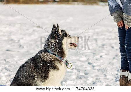 Young Husky Give Treats To Hand Closeup