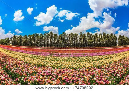 Spring in Israel.  The concept of modern agriculture and industrial floriculture. The scenic rural field. Magnificent multicolored flowering garden buttercups