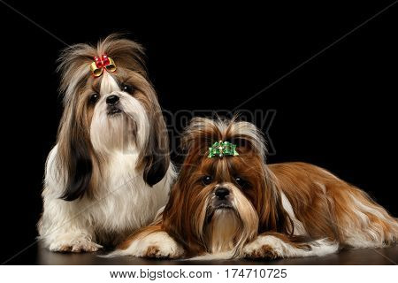 Couple Dogs of breed shih-tzu on Isolated black background