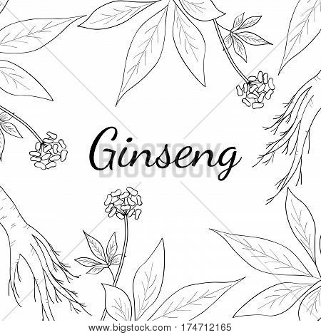 Root and leaves panax ginseng sketch style. Hand draw vintage illustration of medicinal plants. For traditional medicine gardening. Square banner template.