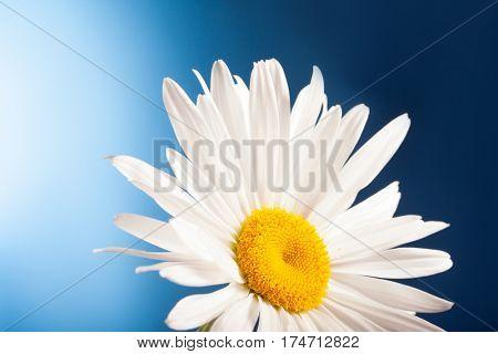 white chamomiles on blue background