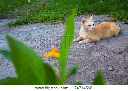 Red cat in the garden. Lovely ginger cat outside in summer garden. Cute orange cat lying near grass. Spring lawn with happy domestic animal. Adult cat with yellow eyes. Walk pet outdoor. Relaxed pet