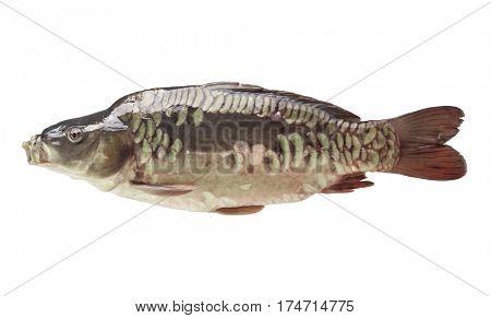 Fresh fish carp on a white isolated