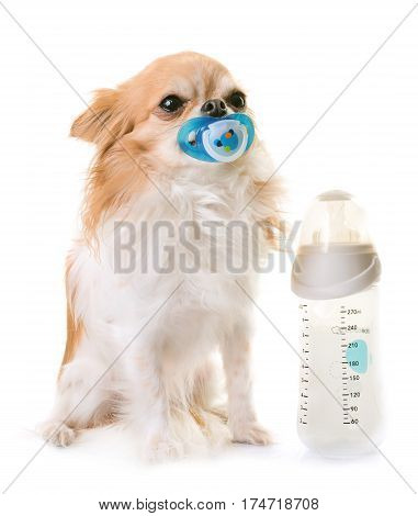 chihuahua and feeding bottle in front of white background