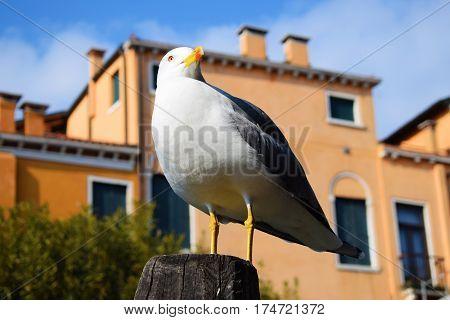 Seagull close-up on wood mast - Venice