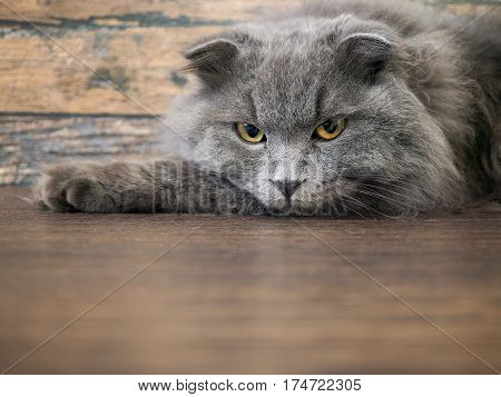 Angry Cat Lying On The Floor. Portrait Of A Gray, Fluffy Cat