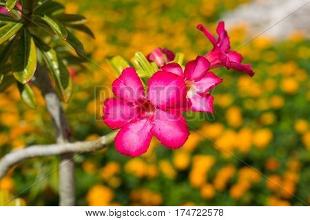 Pink tropical exotic flowers in the park Curacao Carribean