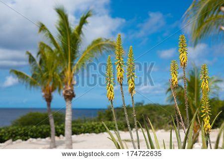 Blossoming yellow flowers aloe-vera plant and blue sea Curacao island Caribbean region