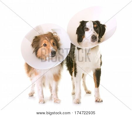 two dogs wearing protective collars in front of white background