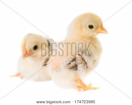 chick serama in front of white background