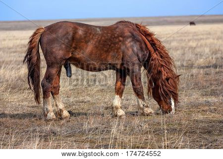 Stallion with erect penis grazing in natural environment on autumn steppe background
