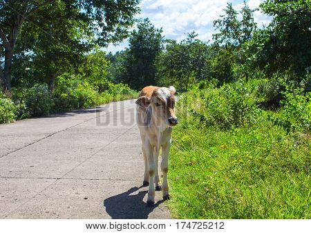 Young cow on countryside road. Tropical landscape with farm animal baby. Cute little cow on roadside pasture. Sunny day in green tropic island. Curious calf standing on road. Asia travel photo scene
