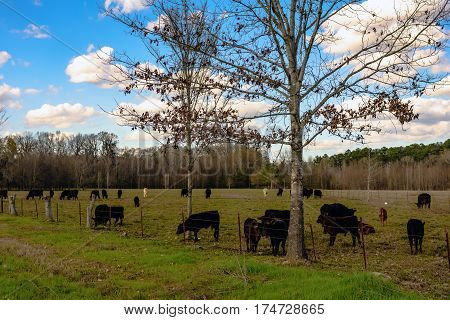Commercial Angus crossbred cattle on an early spring pasture with blue sky and cumulous clouds